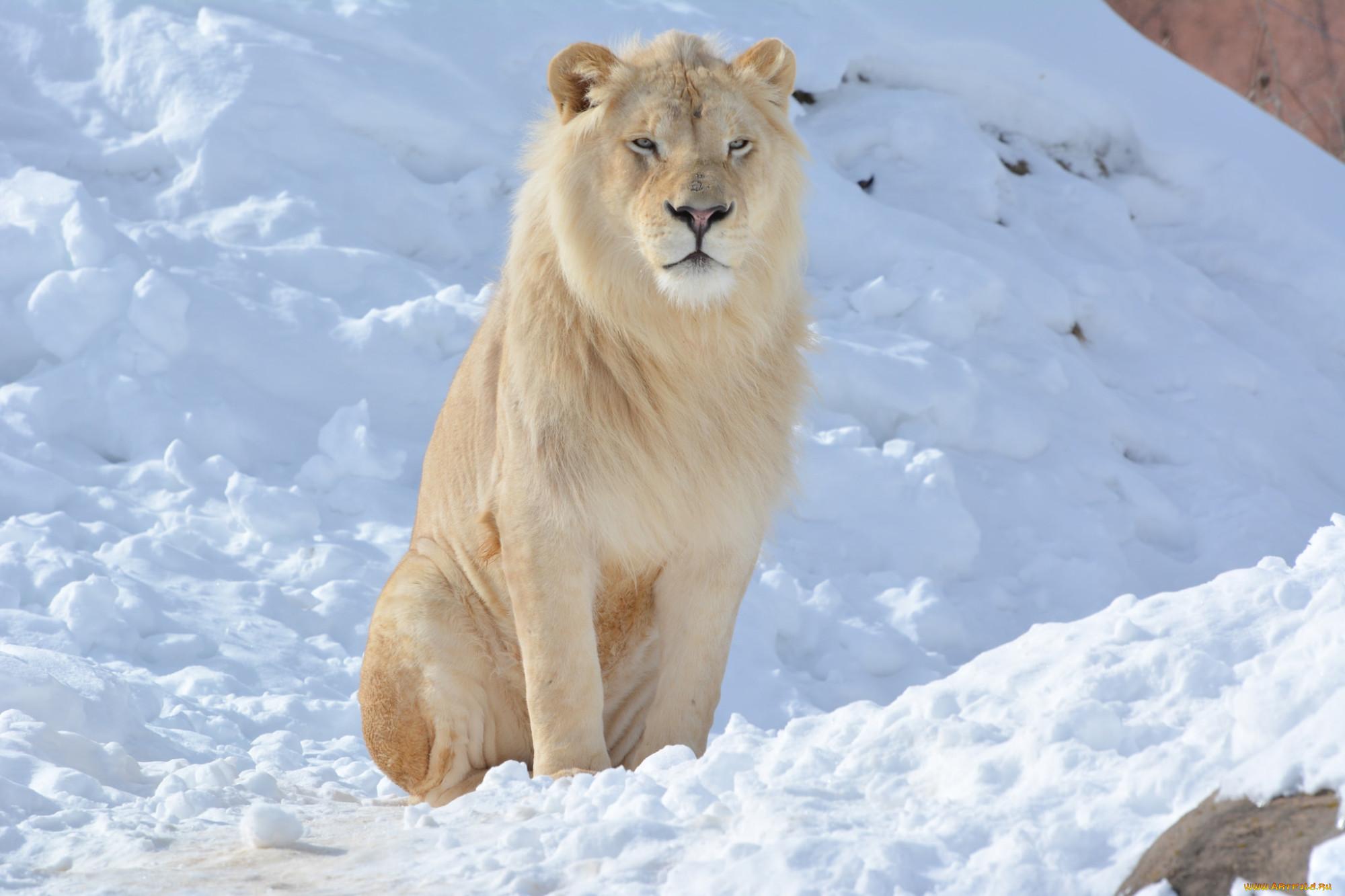 Лев зима картинки